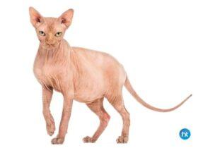 Kucing Sphynx