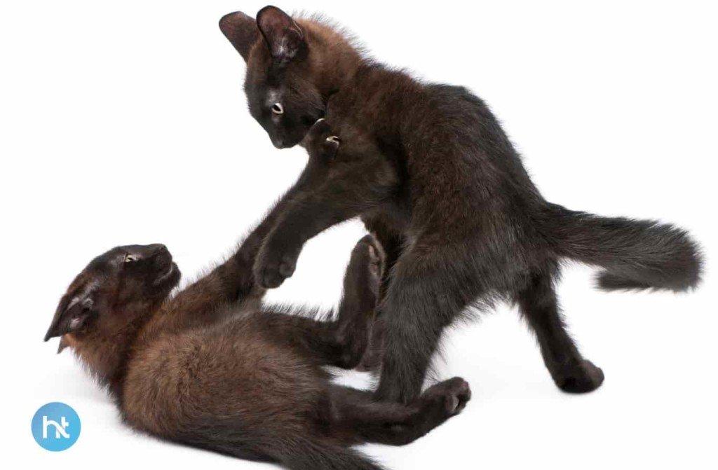 Mitos Kucing Hitam Di Bengali