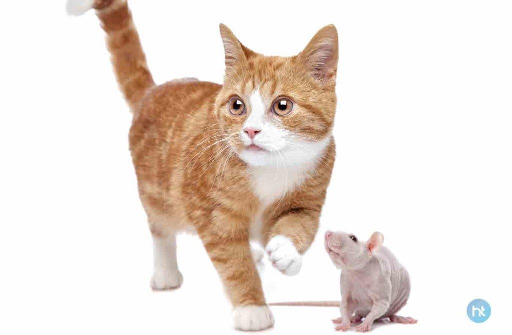 cara mengusir curut menggunakan kucing