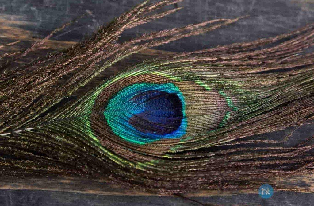 cara mengusir tokek dengan Bulu Burung Merak