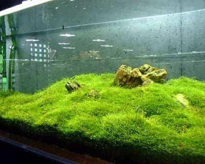 Jenis Tanaman Aquascape Yang Tumbuh Tanpa Co2