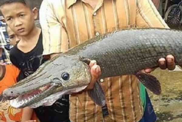 Ikan Kepala Buaya
