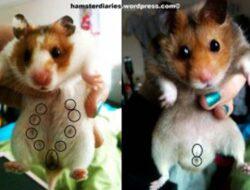 8 Cara Membedakan Hamster Jantan Dan Hamster Betina