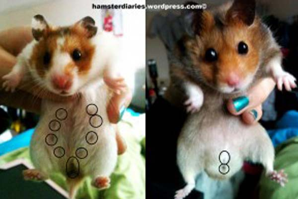 Cara Membedakan Hamster Jantan Dan Hamster Betina