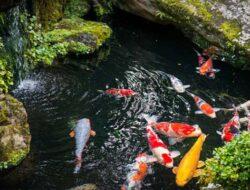 4 Cara Membedakan Ikan Koi Jantan Dan Betina Terbukti