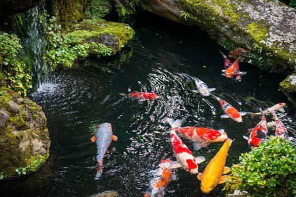 Cara Membedakan Ikan Koi Jantan Dan Betina