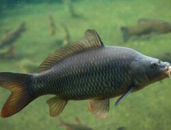 Mengenal Ikan Hampala/ Hampal Beserta Harganya