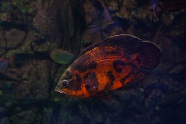 Habitat Ikan Oscar