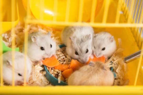 Hamster Jantan Dan Hamster Betina
