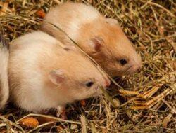 Mengenal Hamster Syrian Yang Lucu Dan Imut