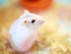 Mengenal Hamster Winter White Lebih Dekat