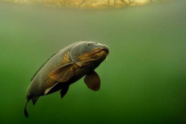 Hidup Ikan Hampala