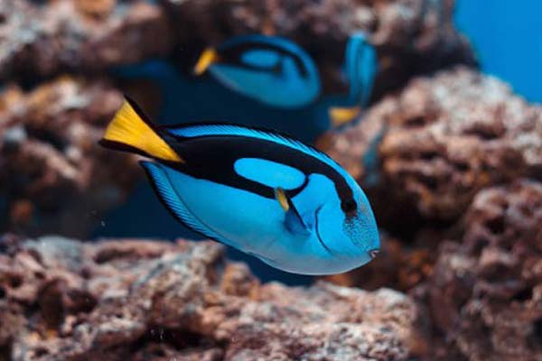 Ikan Blue Tang