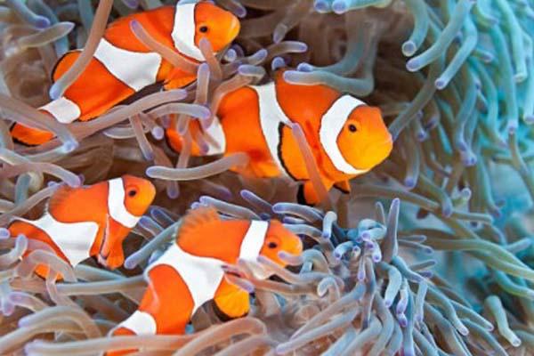 Ikan Clownfish