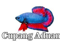 6 Cara Melatih Ikan Cupang Aduan Supaya Tampil Hebat