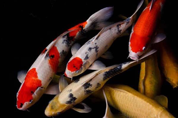 Ikan Hias Air Tawar Koi
