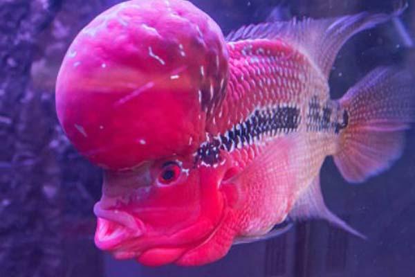 Ikan Hias Air Tawar Louhan