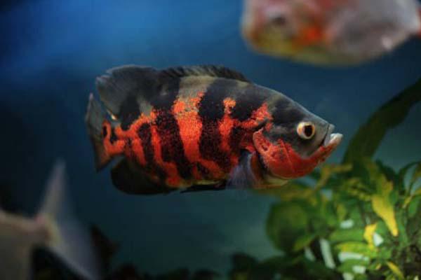 Ikan Hias Air Tawar Oscar