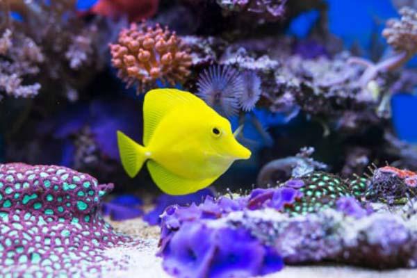 Ikan Yellow Tang