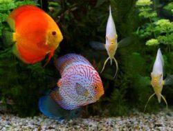 6 Jenis Ikan Discus Dan Kisaran Harganya Yang Perlu Diketahui