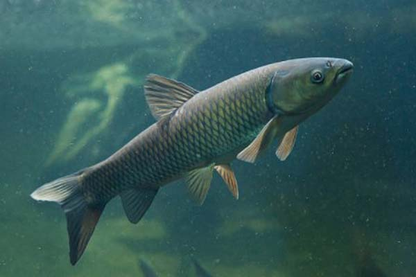 Jenis Ikan Hampala