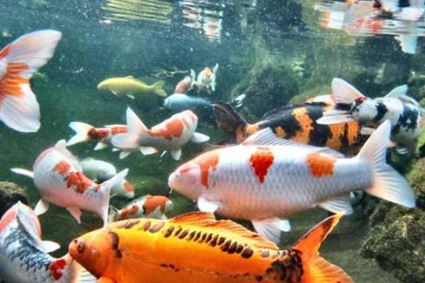 Jenis Ikan Koi