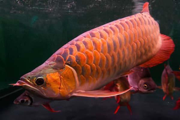 Mengenal Ikan Arwana