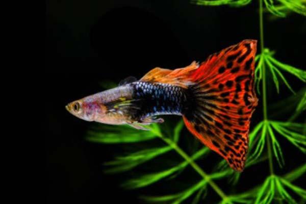 Red Dragon Guppy
