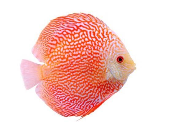 Red Ribbon Discus