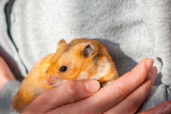 Riset Hamster Syrian