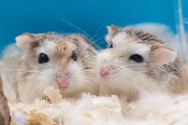 Sejarah Hamster Roborovski