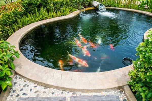 Tips Memelihara Ikan Koi