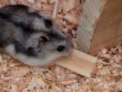 8 Jenis Hamster Campbell Yang Perlu Pet Lovers Ketahui