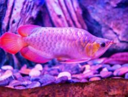 Mari Mengenal Ikan Arwana Beserta Asal Muasalnya