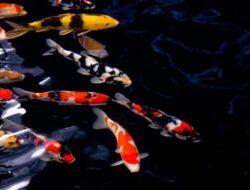 3 Fakta Ikan Koi dan Perawatannya Yang Wajib Pemula Ketahui
