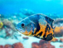 Mari Mengenal Ikan Oscar Yang Buas Mempunyai Motip Cantik