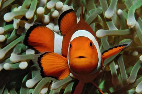 Ukuran Ikan Clown Fish